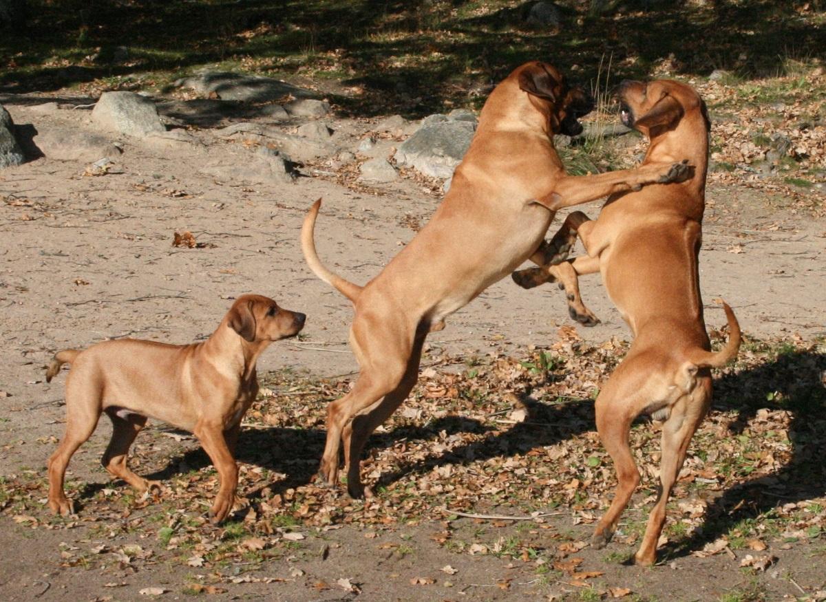 min hund skäller åt andra hundar